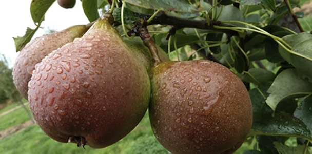 19. Perry Pear
