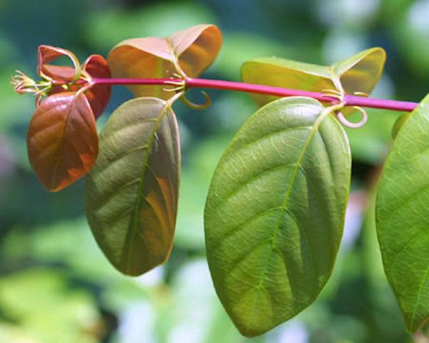 Uncaria-Rhynchophylla-Ramulus-Uncariae-Hook-Extract-Gou-Teng-448px