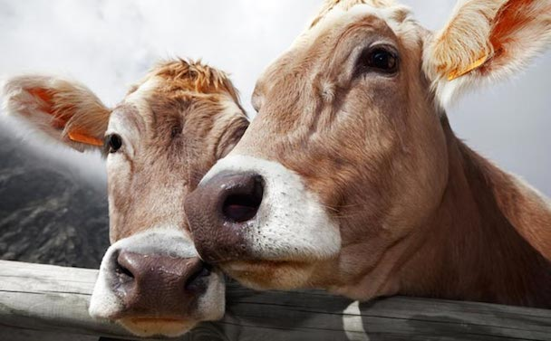 two-cows_645x400