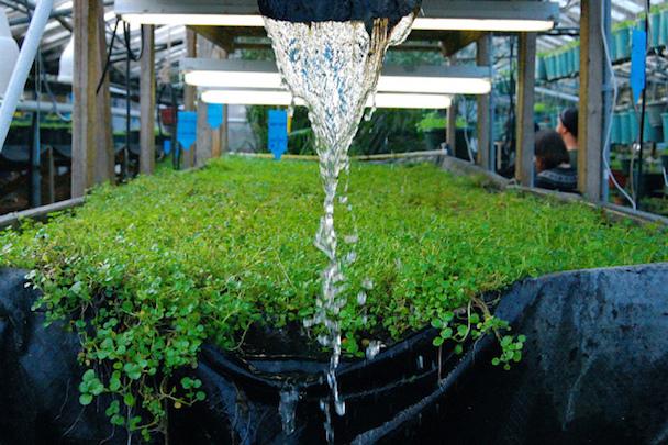 aquaponic-farming-2